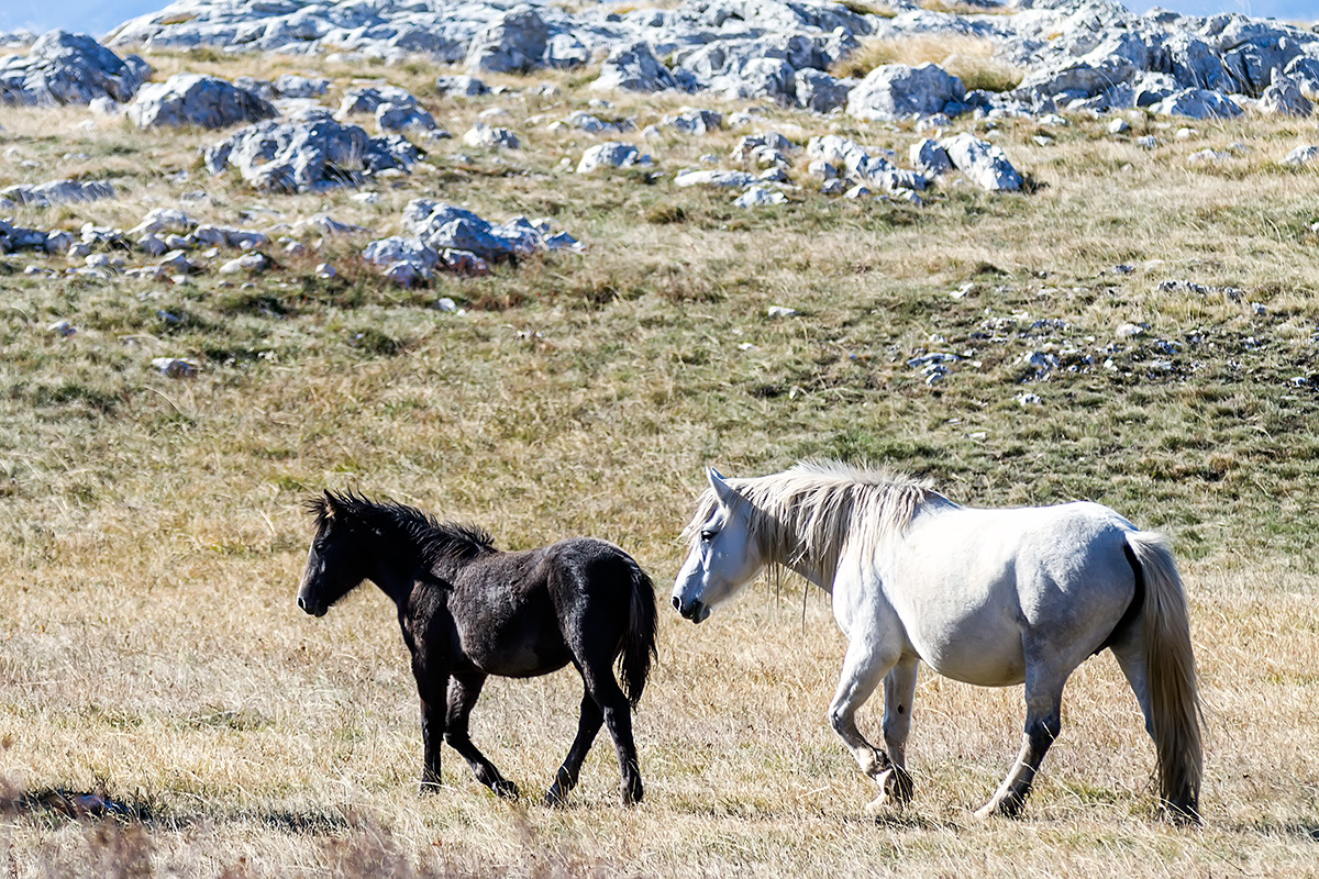 Wild horses of the Krug plateau above Livno