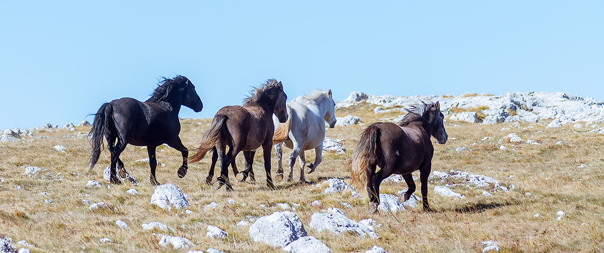 It took me almost ten years to finally visit the wild horses of plateau Krug above Livno in BiH
