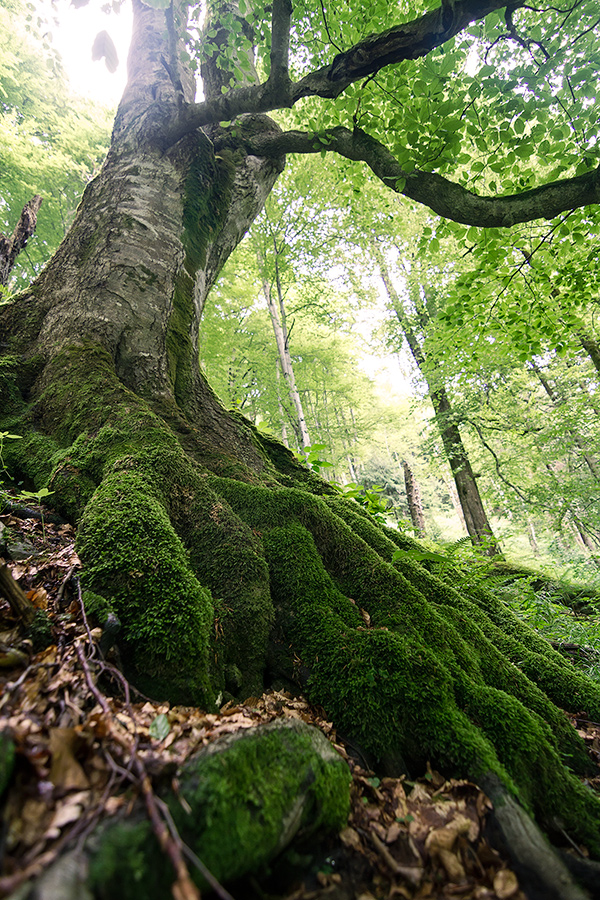 There is supposedly a 400 years old virgin forest in the Stramba Valley