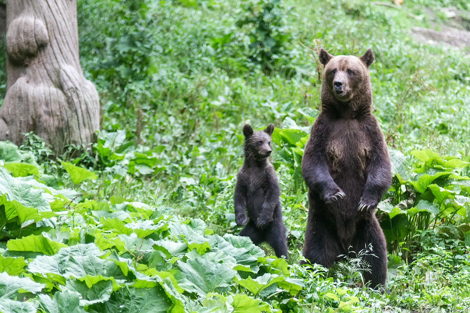 Even during feeding the bears were listening for any sound of possible danger