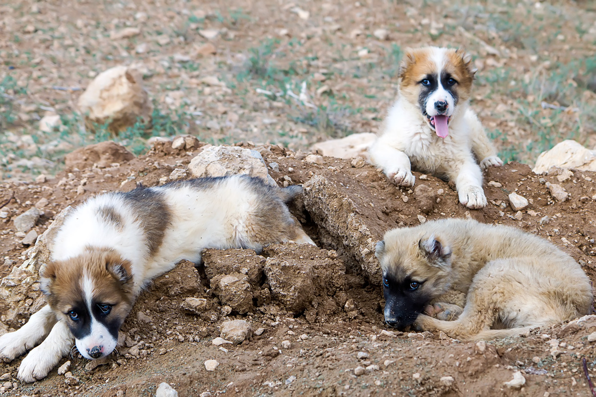 The puppies that welcomed us at Gisoo waterfall near the village of Nareq