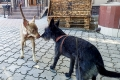 Punky playing with a local dog in Tiraspol.