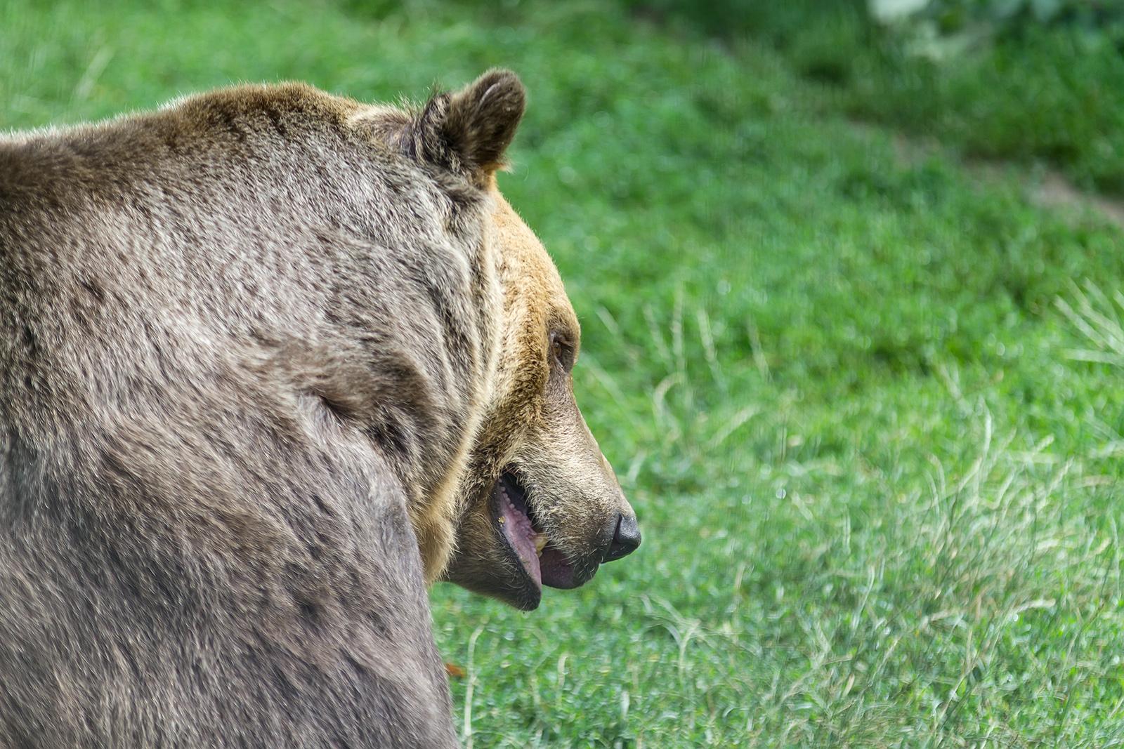 One of the 98 bears in Libearty Bear Sanctuary in Zarnesti