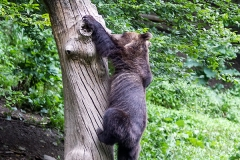 Some of the fruit was hidden high up in the trunk, so bears had to climb it to get food