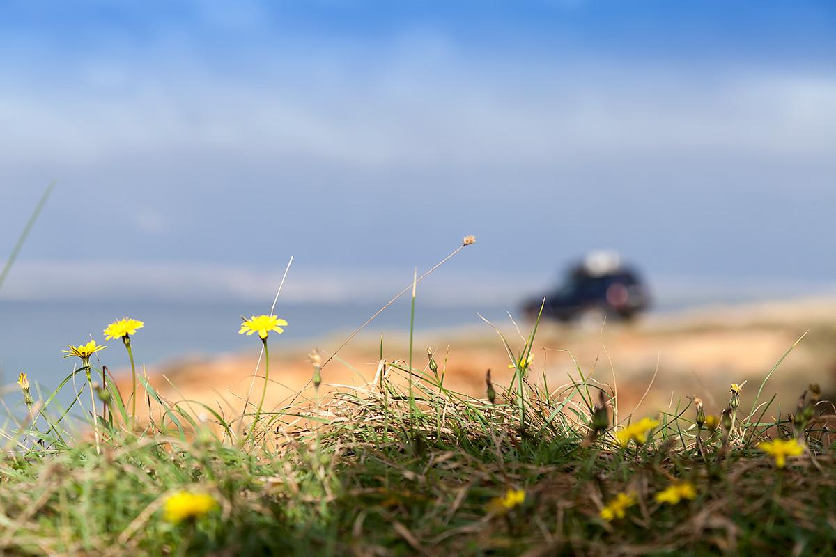 Late autumn dandelion, northern coast ov Vir