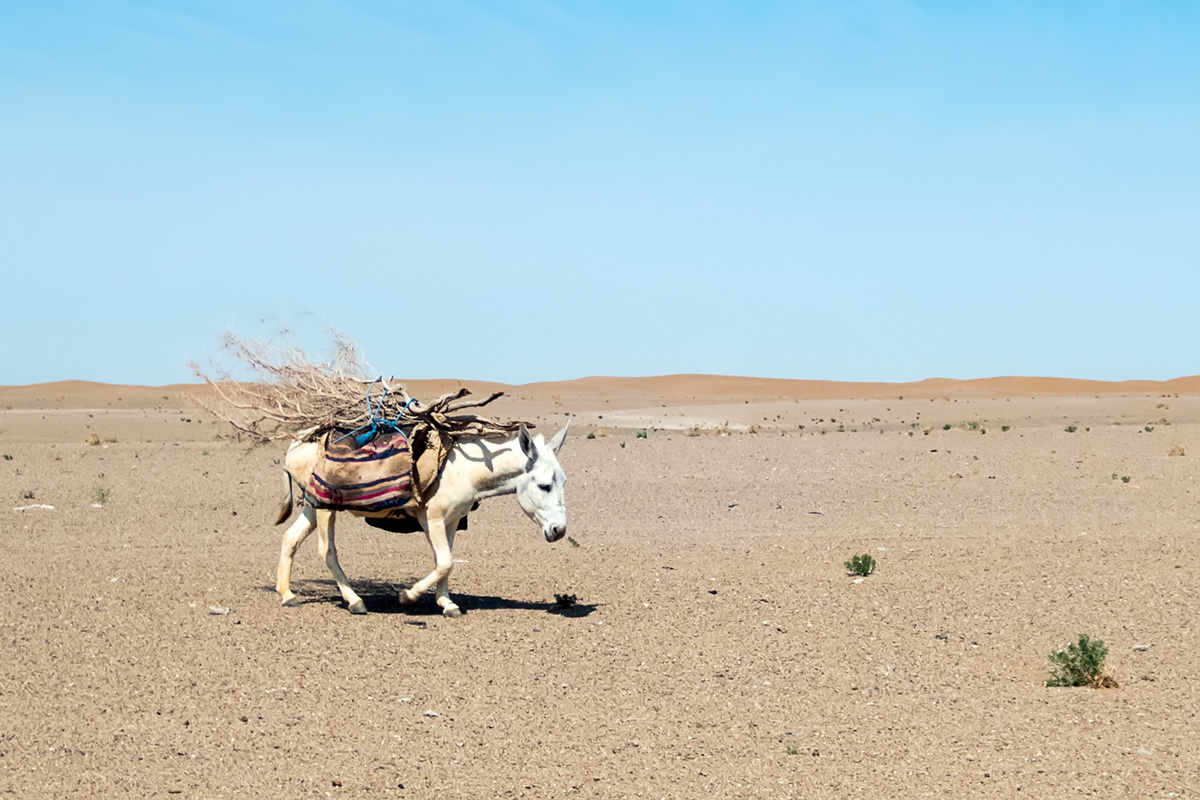 The donkey on the plains west of Maranjabi dunes.