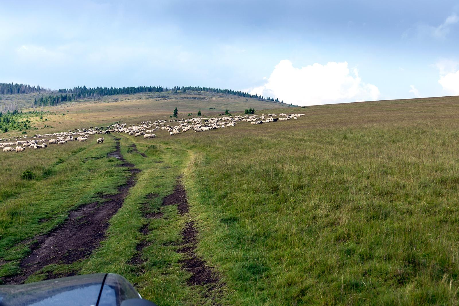 Ovce in ovčarski psi v Karpatih